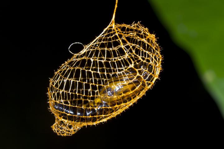 Amazonas Schmertterling Motte